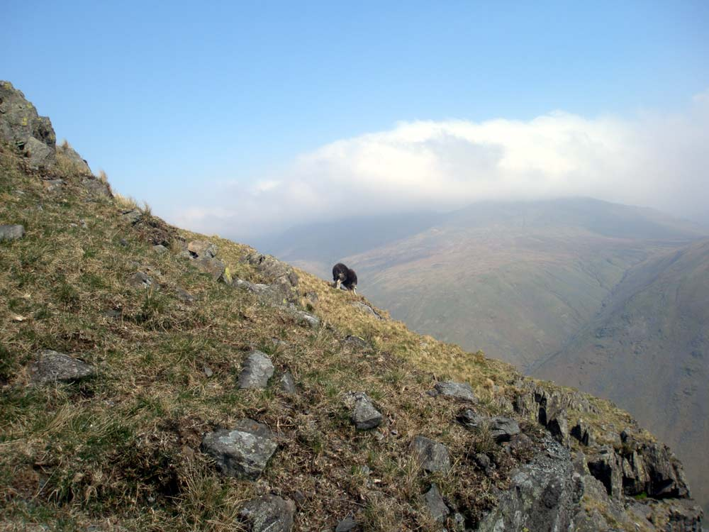 Sheep on Steel Fell with Helvellyn